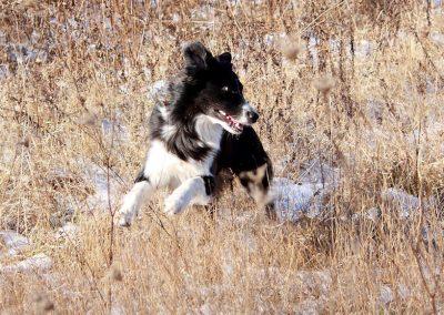 aussie-vienna-dog-weeds