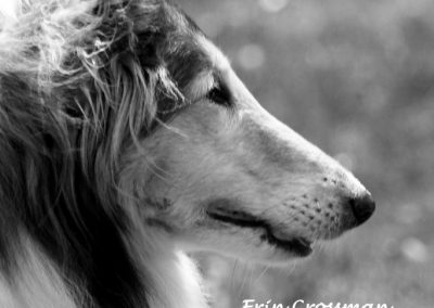 collie-rough-dog-monochrome
