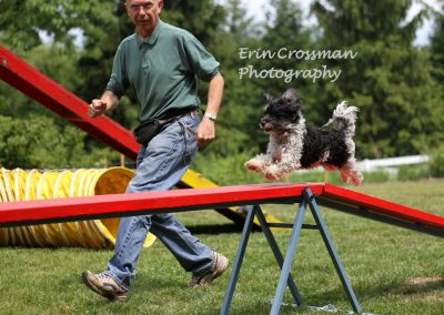 dog-agility-havanese