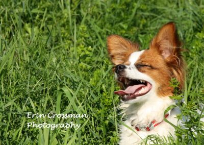 dog-laugh-papillion-grass