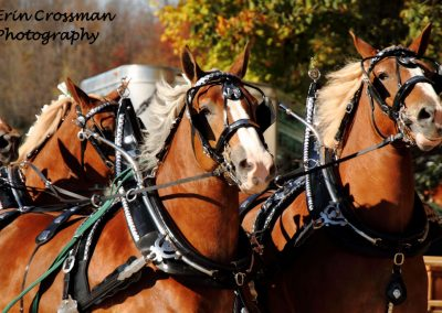 harness-horse