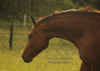 horse-dutch-warmblood