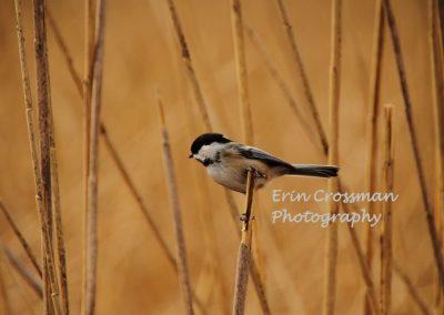 reeds-chickadee
