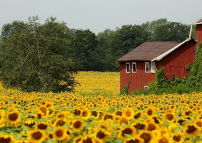 sunflower-barn-summer-farm