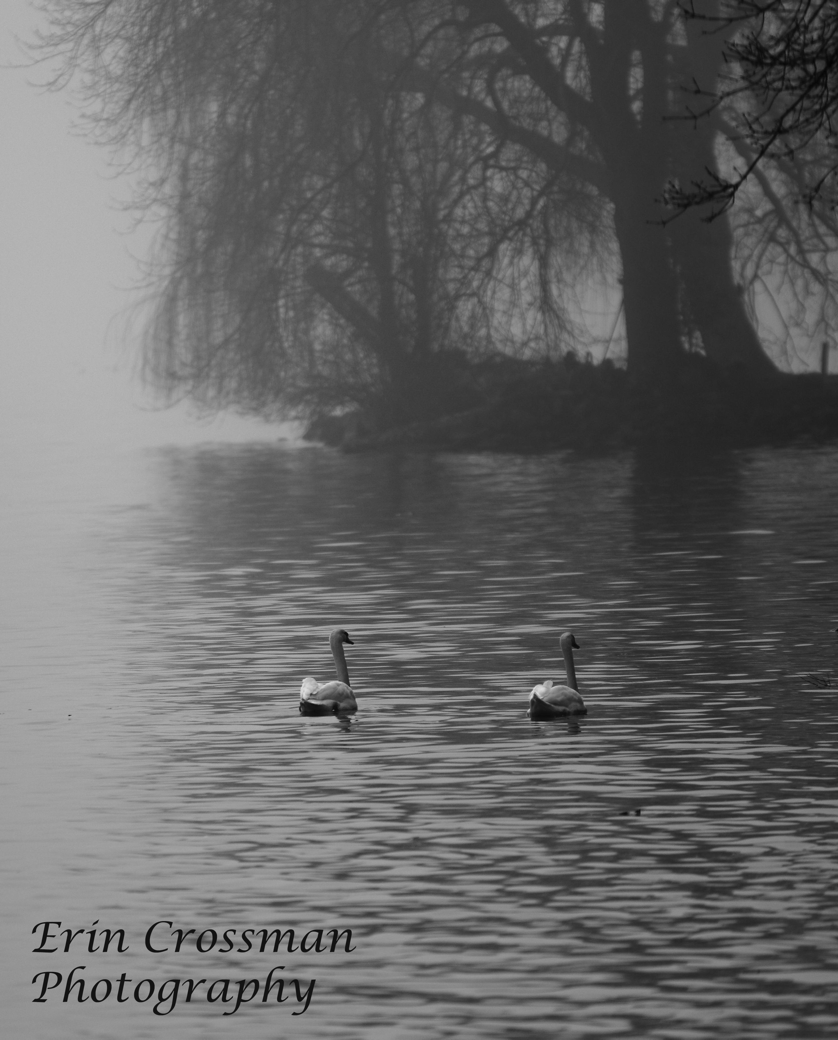 The Bonny Swans
